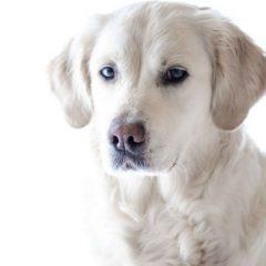 Síndrome de Cushing ou Hiperadrenocorticismo em cães