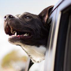 Que cuidados devo ter com meu pet durante uma viagem?