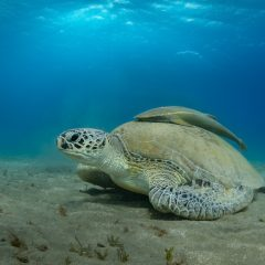 Qual a diferença entre tartaruga, jabuti e cágado?