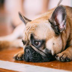 Como saber se meu cachorro está com depressão?