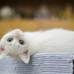Dicas para acabar com as pulgas do seu gato