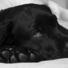 Como cuidar de um cão com a pata quebrada